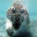 Iron_Tiger