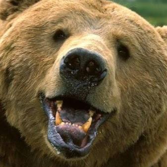 Bearfred