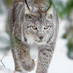 Lynxmk